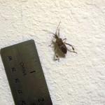 cjl-bug